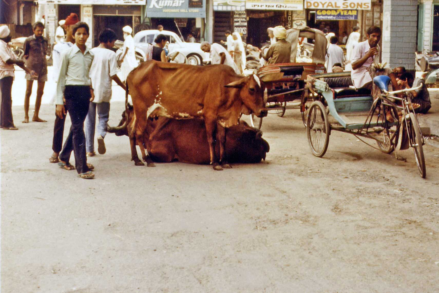 Holy cows in the street of Amritsar India