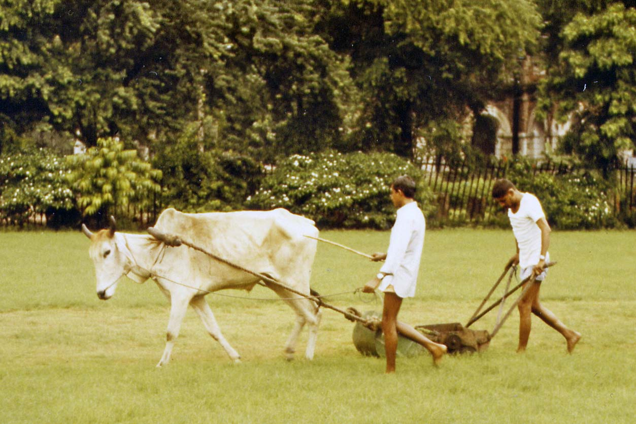 Lawnmower with cow in New Delhi