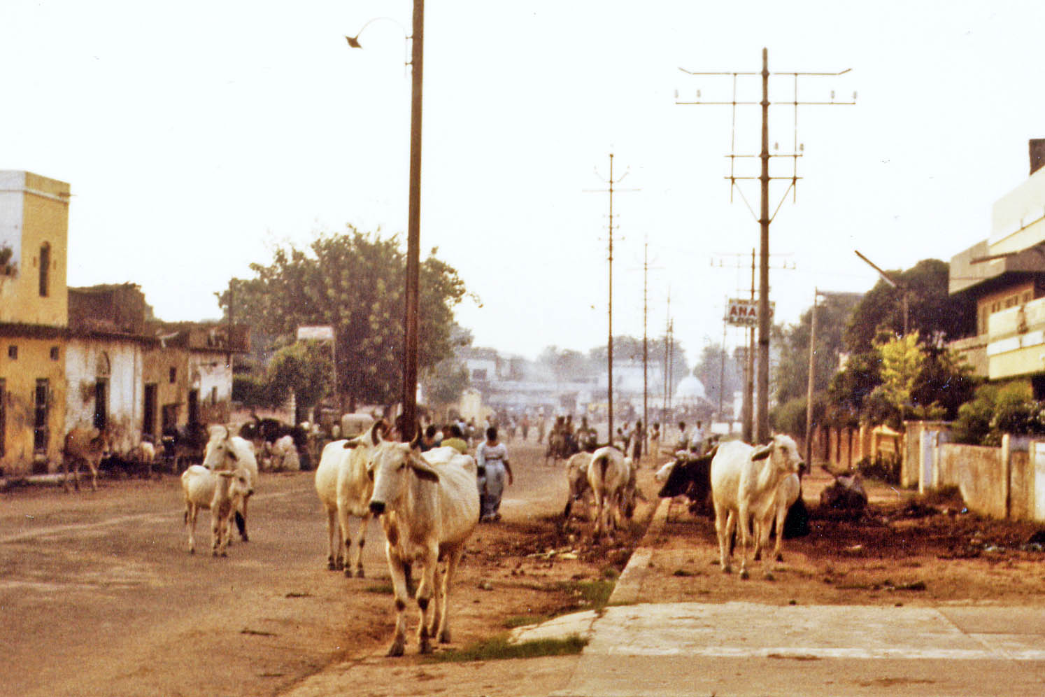 Agra, cows in the street
