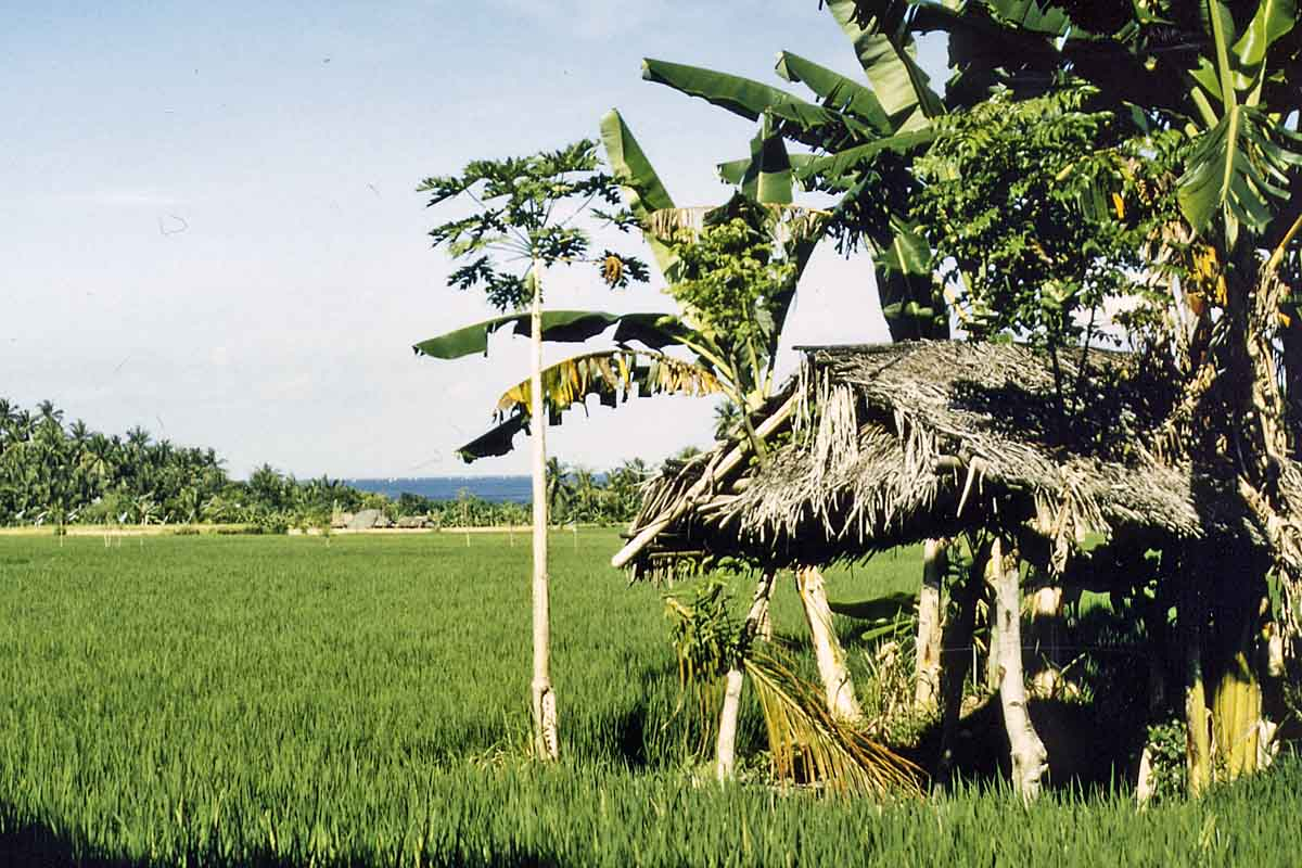 Rice fields on Bali
