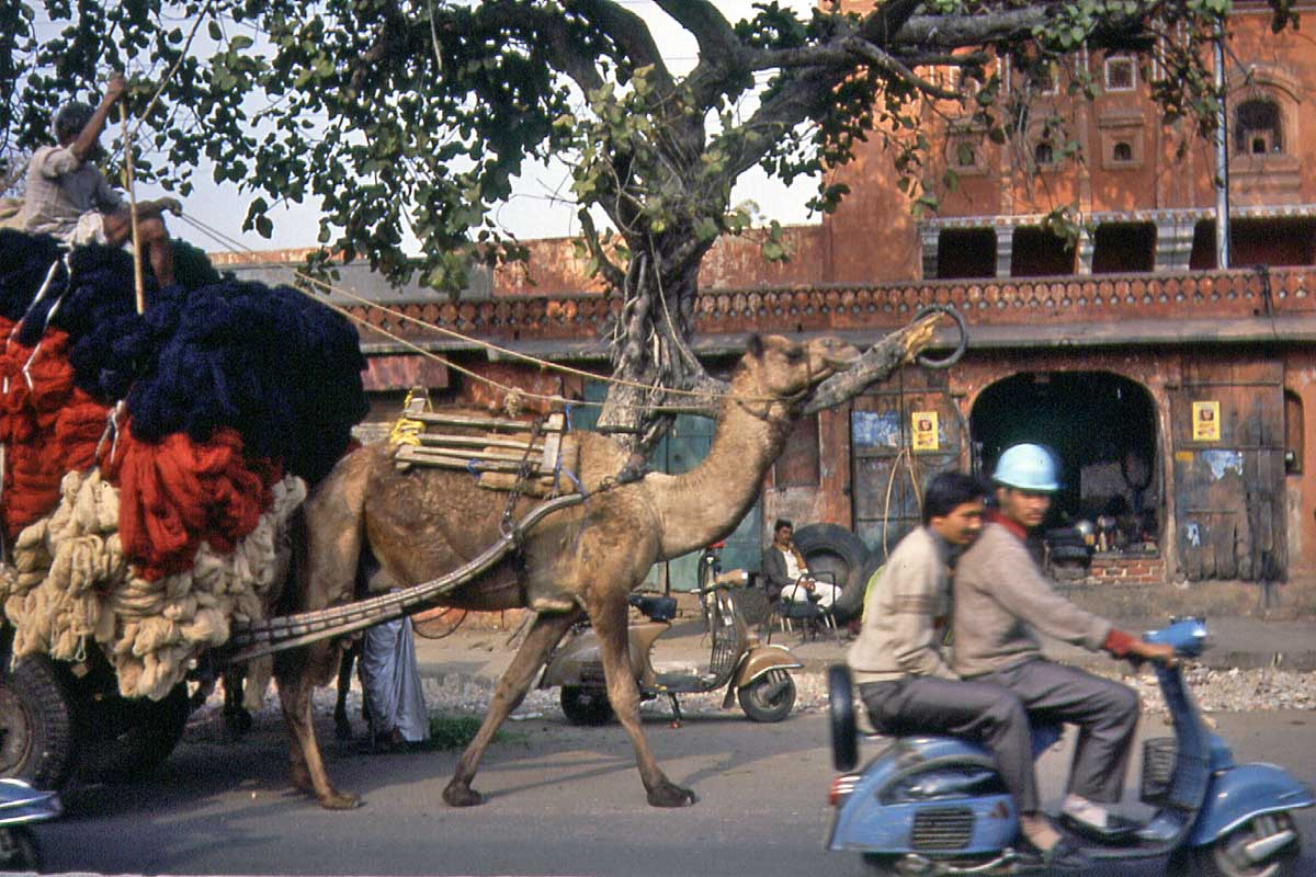 Jaipur camel in the street