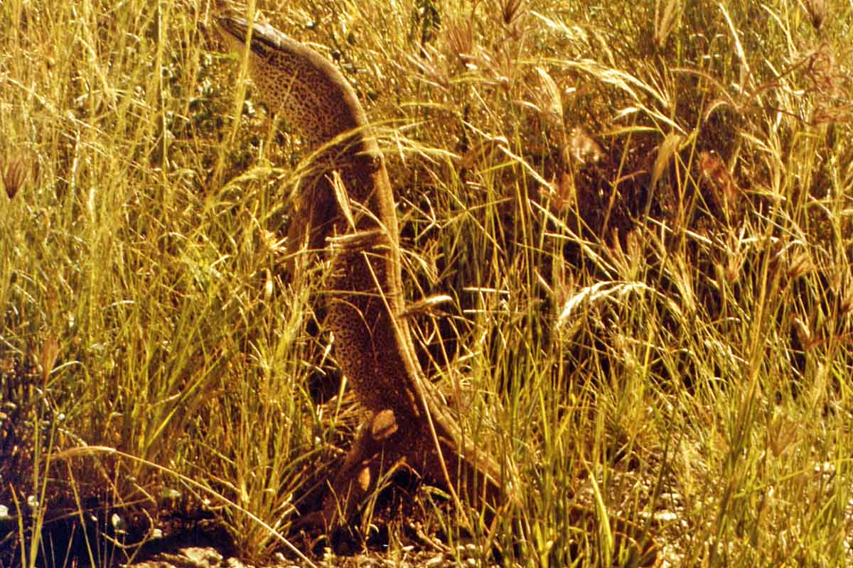 Waran in Australias Outback
